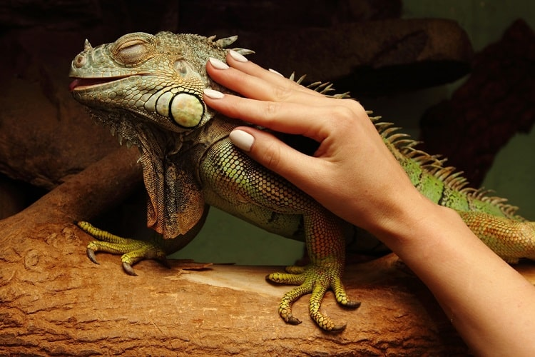 A hand stroking the skin of an iguana with its eyes closed.