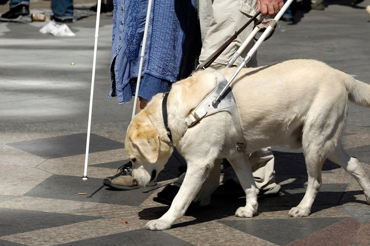 A guide dog clearing the path for his human with a disability.